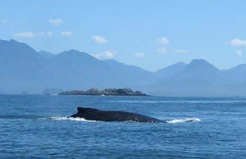 whale-watching-worth-doing-in-tofino